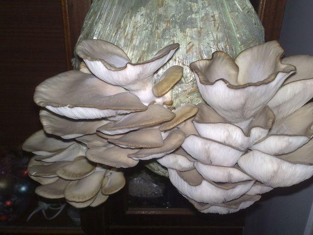 Мицелий вешенки,шампиньона,шиитаке и других грибов не дорого