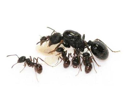 муравьи, матки муравьёв, messor structor, формикарий, муравьиная ферма
