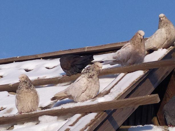 Кировоградские голуби коверкотовые