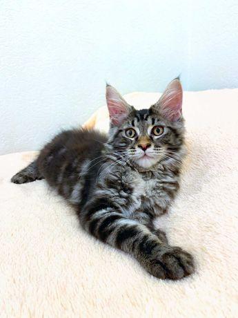 МЕЙН КУН, котенок мейн-кун, 6 месяцев, девочка