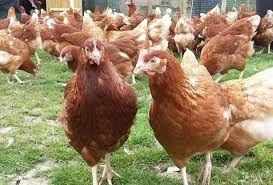 Kury młode kurki nioski ROSA kolorowe z wybiegu.Sprzedaż z dowozem.