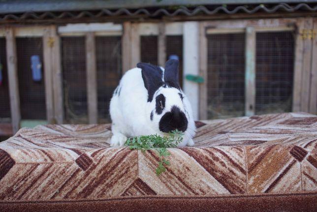Кролик Німецький Строкач