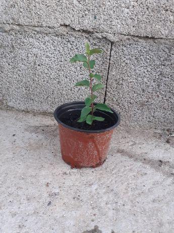 Ameixoeira para plantar