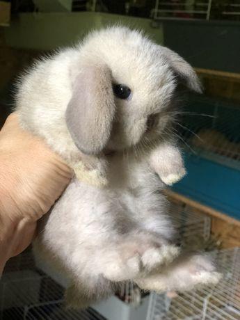 Карликовые вислоухие кролики из питомника