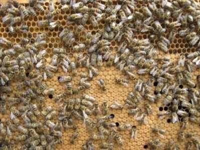 Продам сильні бджолосім'ї