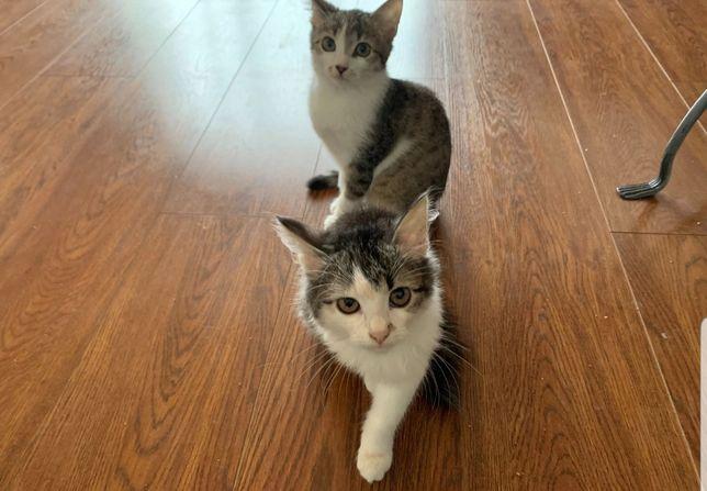 домашний котёнок,котята,мальчики  приучены к туалету