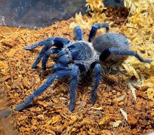 самки синего паука птицееда для новичков Pterinopelma sazimai