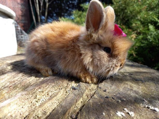 Króliczek TEDDY KARZEŁEK królik króliki miniaturka mini lop Wyprawka