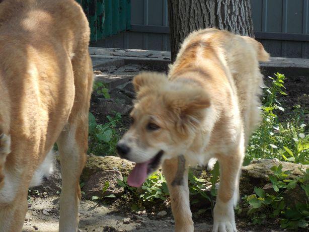 Продам щенка породы среднеазиатская овчарка