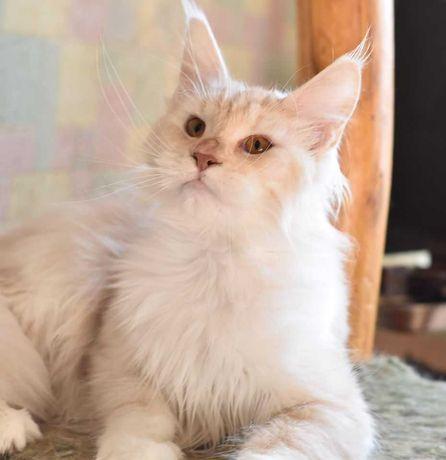 Шикарная кошка мейн кун