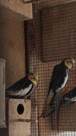 Sprzedam papugi ze zdjęcia, nimfy