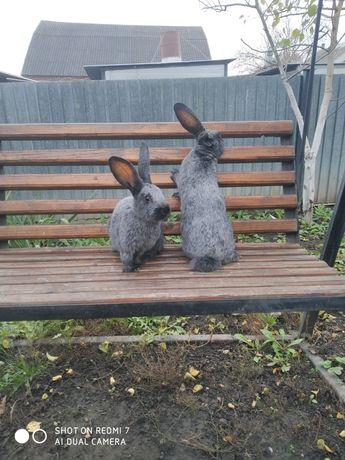 Продам кролики полтавського серебра.
