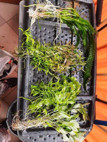 Sprzedam rośliny akwariowe
