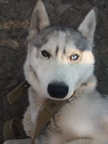 Пропала собака хаски