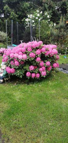 Duży, piękny Rododendron