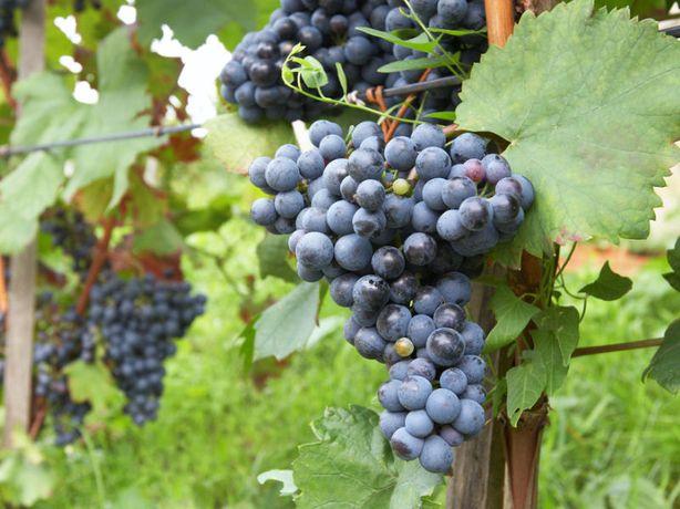Białe, czarne, różowe!Winorośl!Sadzonki Winogrona Duże!3Letnie!Polecam