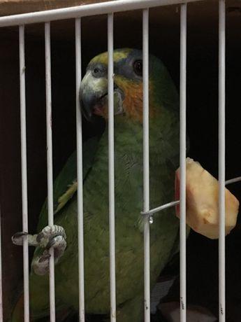 Амазон птенцы