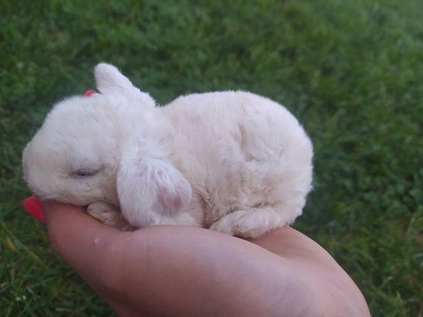 Karzełek baran rex samica, królik, króliczek z zarejestrowanej hodowli