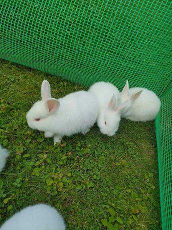 Małe króliki nowozelandzkie