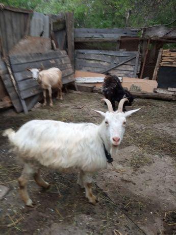 Продам козу дойнную
