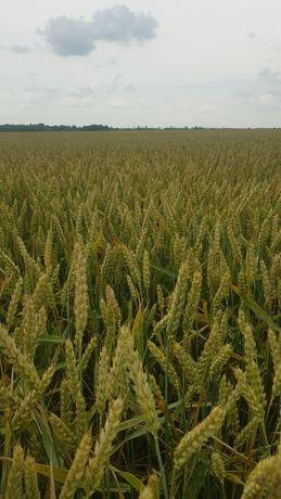 Канадская пшеница MASON