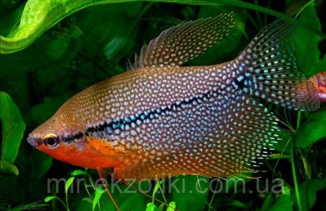 Гурами мраморный, жемчужный, золотой, рыбки без кислорода лабиринтовые
