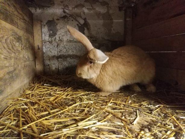 Belgi króliki szare białe żółte szynszylowe czarne