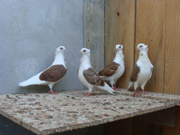 Gołębie ozdobne - mewki, newki