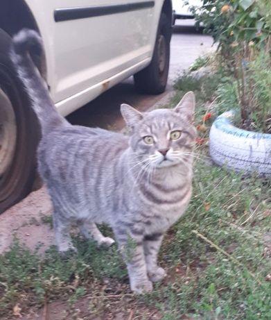 Потерялмся кот. Кастрирован. Крупный. Серый, полосатый, тигровый, виск