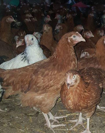 Sprzedam młode kury nioski 11 tyg