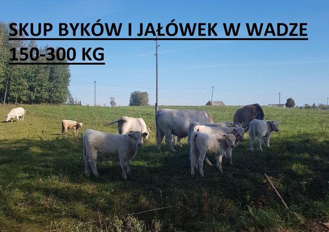jałówka jałówki byczki odsadki 150-350