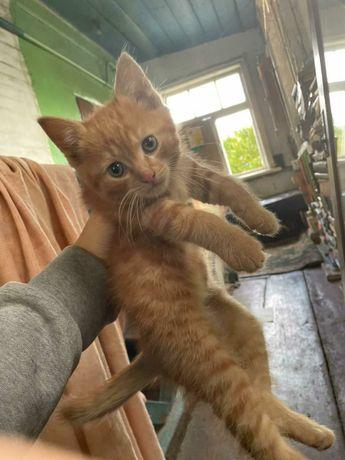 Отдам рыжего котёнка, мальчик. 2 месяца