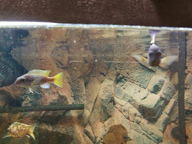 Pyszczaki malawi Acei - niebiesko żółte