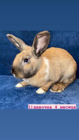 Кролик декоративный баранчик
