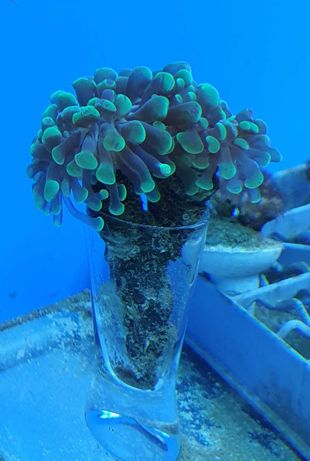 Koralowiec Euphyllia paraancora / 4 główki / wyłącznie odbiór osobisty