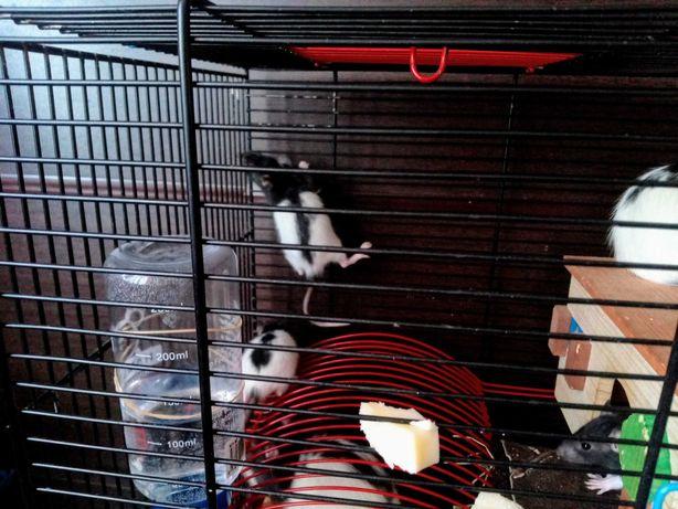 Małe szczurki