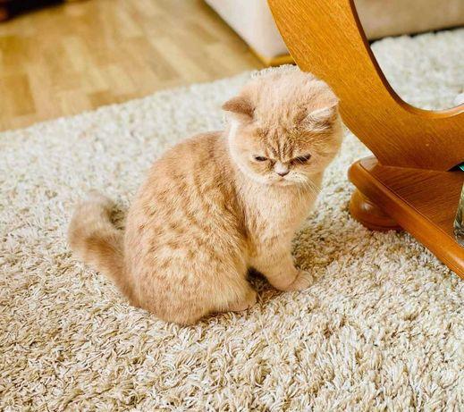 Kot Egzotyczny kotka kremowa