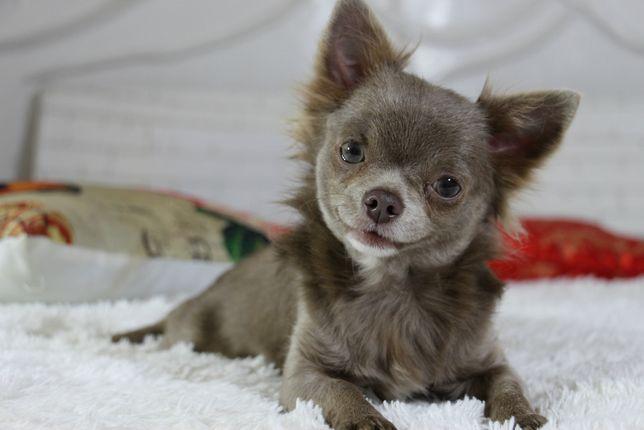лиловый малыш чихуахуа