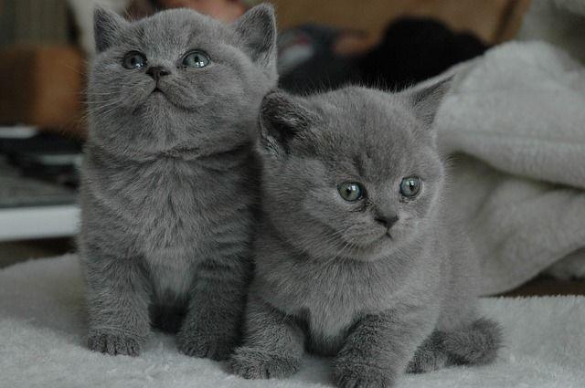 Бритаские котята