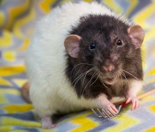 Szczurki młode Dumbo