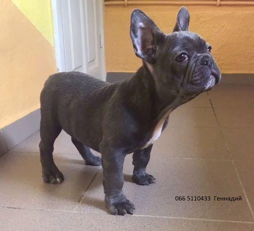 Французский бульдожек - щенок возраст 3 месяца ! Генный на подпал