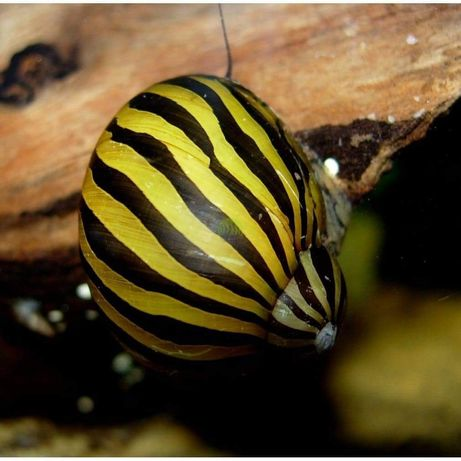 Ślimaki do akwarium/ślimak Neritina natalensis sp. Zebra