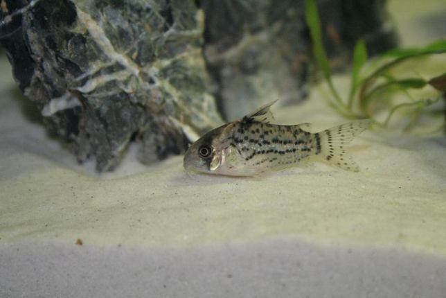 Kirys Corydoras schwartzi Torun