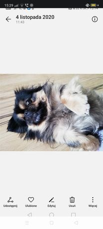 Zaginął pies rasy pekińczyk