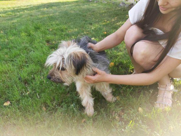 Piękny pies około 10 kg Jak duży york uratowany, młody przyjacielski