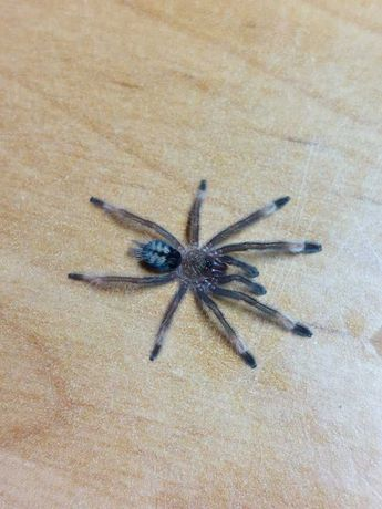 pająk ptasznik Psalmopoeus cambridgei L1/2