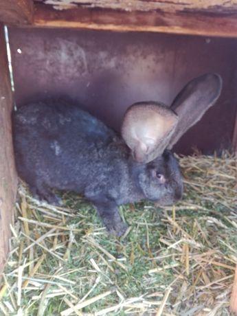 Kury ozdobne drób króliki