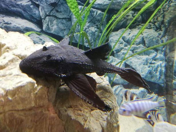 Zbrojnik glonojad Tarczobok Żaglopłetwy (Acanthicus Adonis) 30cm