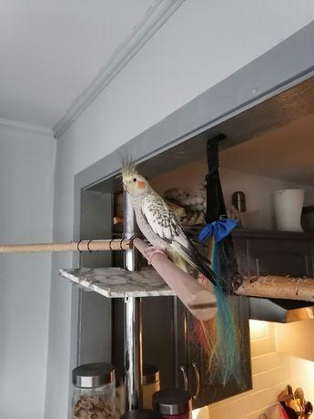 Młode papugi Nimfy