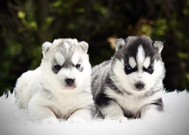 Piękne pieski Siberian Husky / Hodowla Husky ZKwP & FCI od 1994 roku